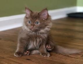 Ohio Ragdoll Kittens, Ohio Ragdolls, Cincinnati Ragdoll kittens